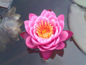 deep-pink-waterlilly-2